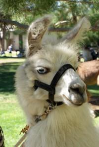Walk-a-Llama in Yorba Linda